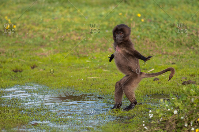 A juvenile Gelada monkey (Theropithecus gelada) plays in a puddle in the highlands