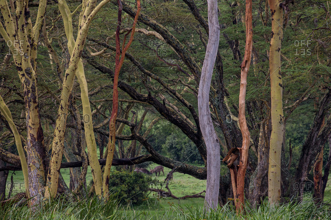 Multi colored tree trunks in the fever tree forest