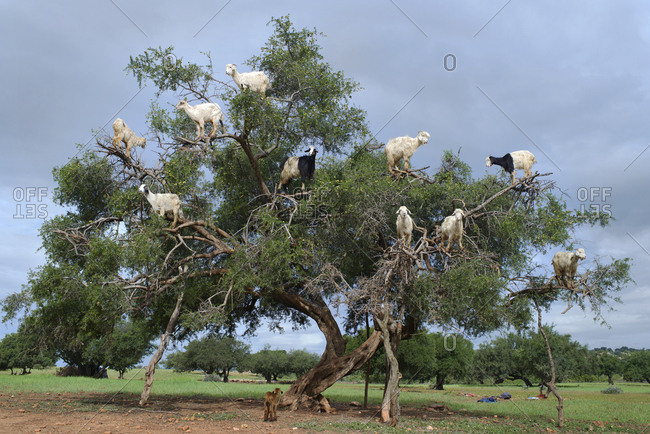 Goats feed on nuts atop of an endemic Argan tree on the outskirts of Marrakesh, Morocco