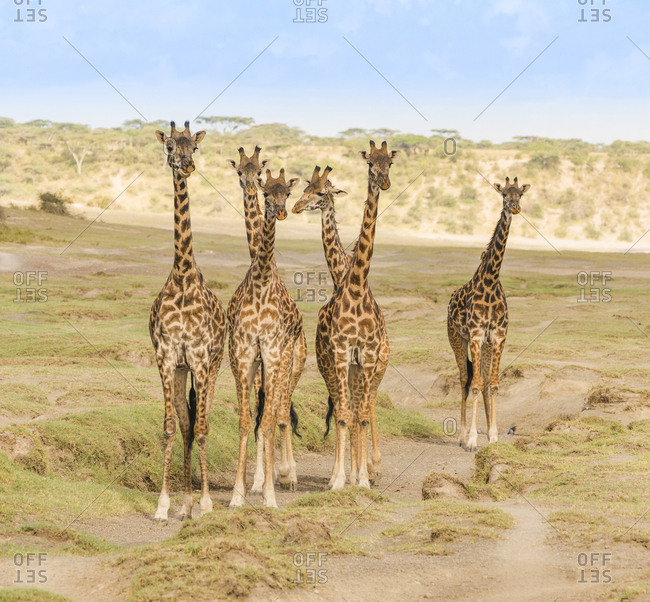 A small herd of six giraffes stop and watch for any threats as they approach their watering hole
