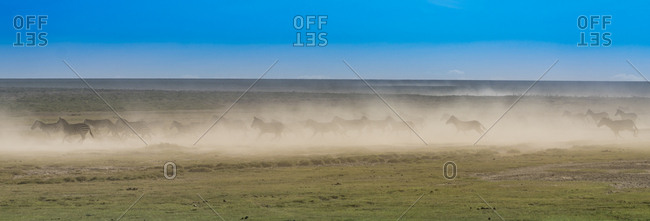 A herd of zebras running over a very dry savanna creating a dust storm