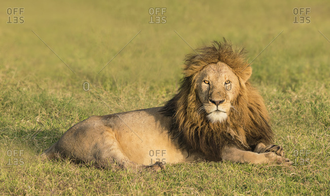 A male lion rests in the early morning light