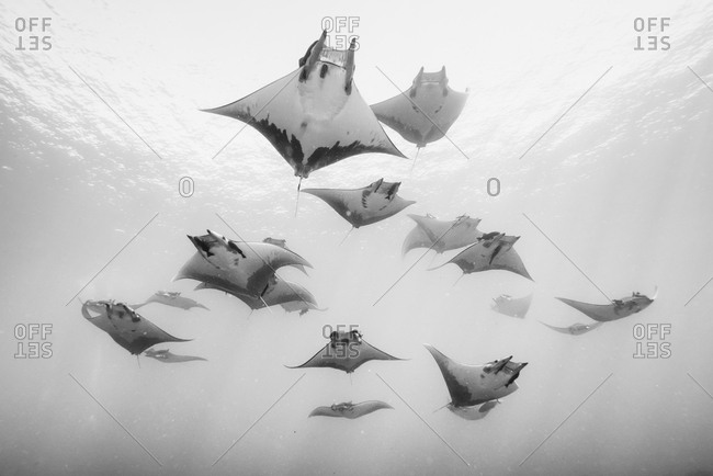 A school of devil rays swim on the water's surface