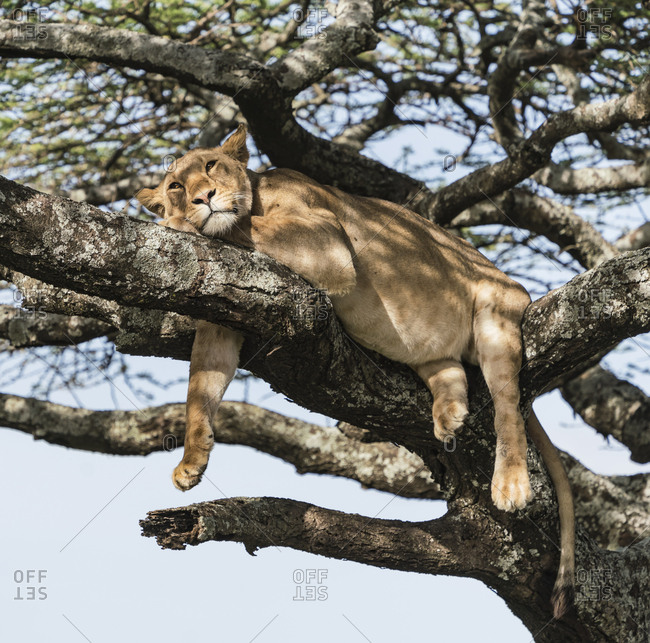 A female lion relaxes by hanging on a tree branch and avoids the swarms of insects