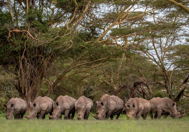 White Rhinos grazing under fever trees in Solio Rhino Sanctuary