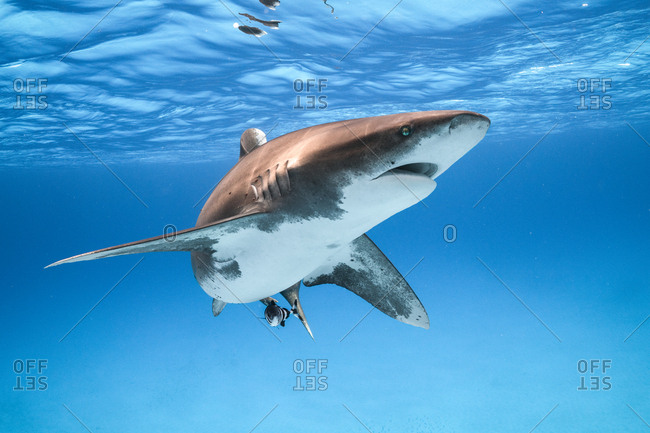 An Oceanic Whitetip Shark makes a close and curious pass