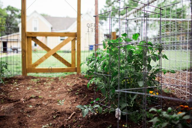 Tomatoes plants growing in backyard garden