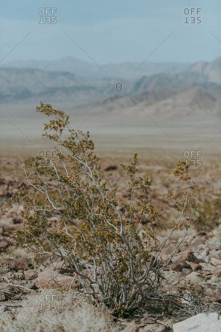 Desert plants in Death Valley