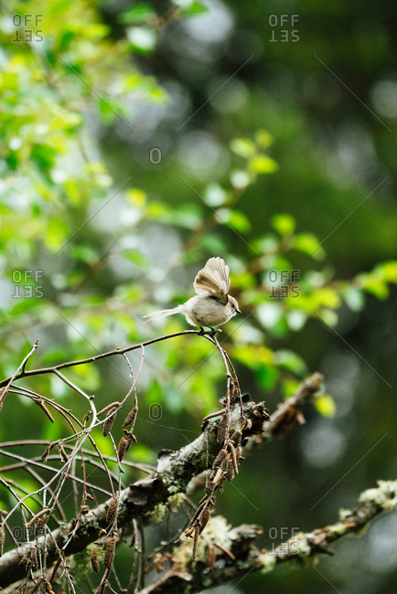 Bushtit with wings spread perched on tree branch