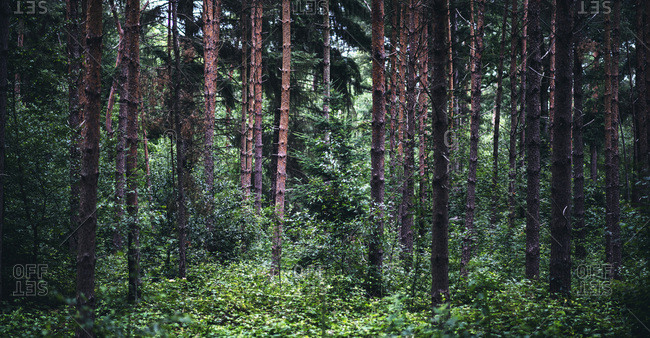 Trees in a dense forest