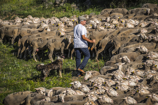 Soria, Spain - June 9, 2017: Shepherd and sheep dog on the transhumance route in the Soria region of Spain