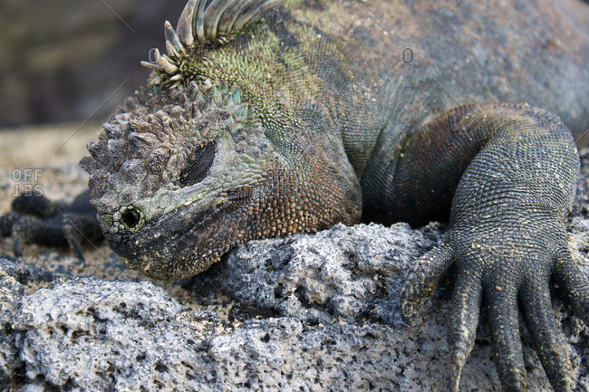 Close up of a marine iguana in the Galapagos Islands