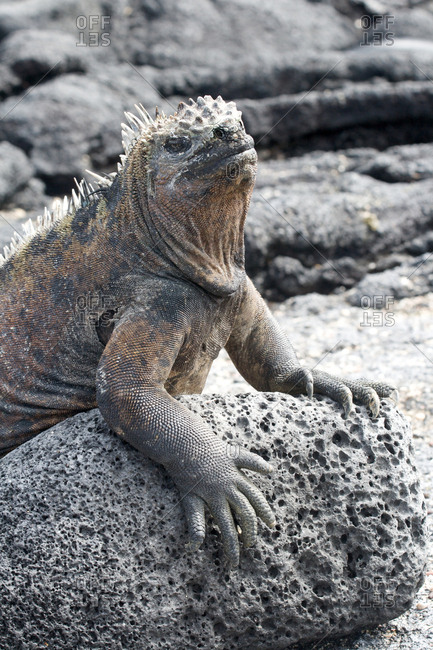 Close up of a marine iguana on the Galapagos Islands