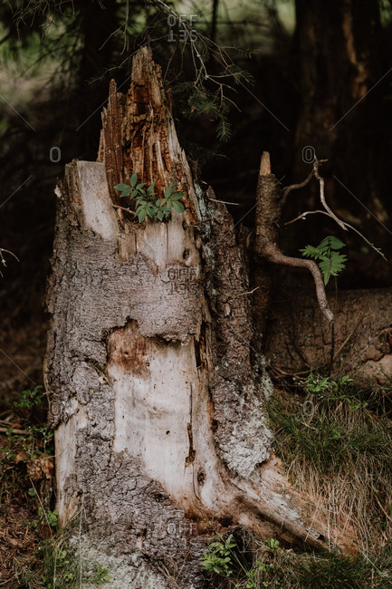 Tree stump with new growth in forest