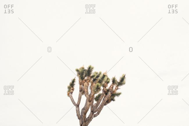 Windswept Joshua Tree isolated against sky