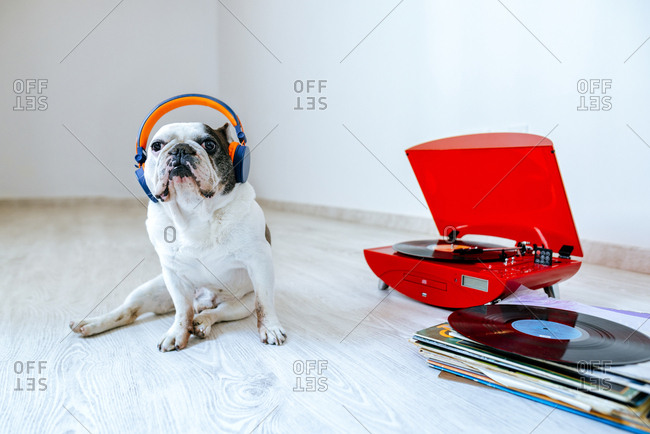 French Bulldog with headphones on listening to record playing on turntable