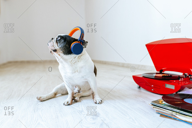 French Bulldog listening to record on turntable with headphones on