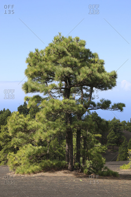 Pines (Pinus canariensis) in lava scenery, La Palma island, the Canaries, Spain, Europe