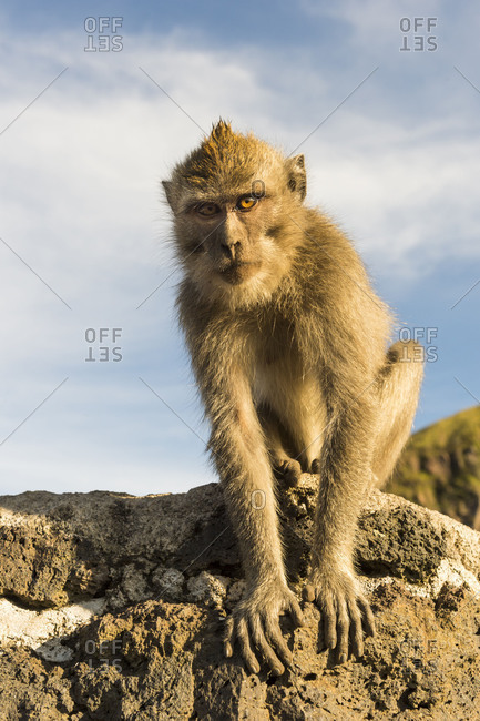 Barbary ape on the Gunung Batur,