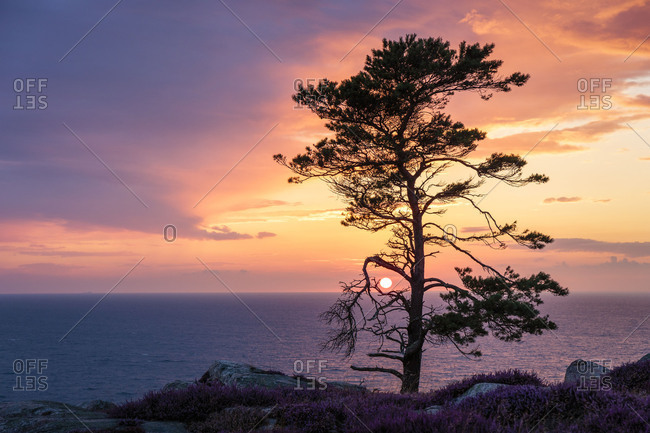 Europe, Denmark, Bornholm, sunset with coastal pine, seen from the steep coast south of Hammershus