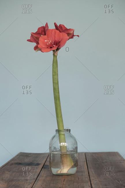 Amaryllis, flower, flower vase
