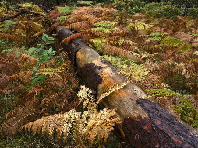 Germany, Mecklenburg-Western Pomerania, Western Pomerania Lagoon Area National Park, Darss Forest, fallen pine trunk in fern forest, early autumn