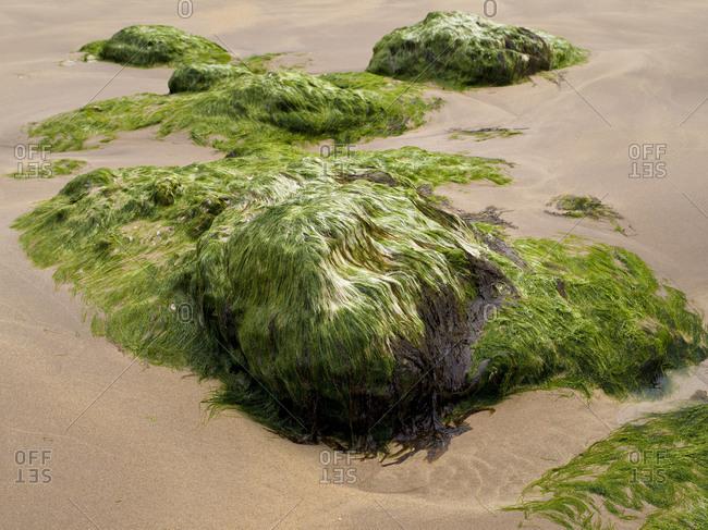 Northern Ireland, Antrim, Causeway Coast, mussel limestone with green algae in the sandy beach