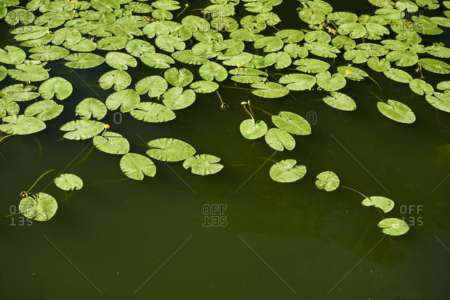 A lot of water lily leaves green on the water surface of waters, birds-eye view