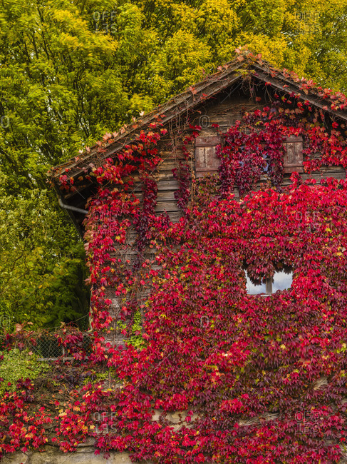 House overgrown with red ivy in front of coloured autumn wood