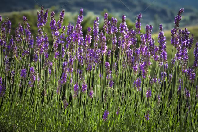 Lavender in Burgarach