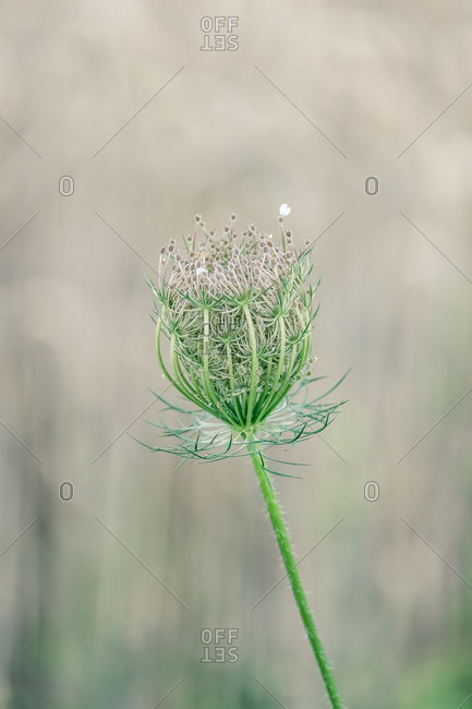 Close-up, blossom of a wild carrot in front of blurred background