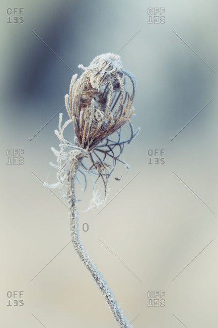 Winter magic: dried inflorescence of a wild carrot with hoarfrost and ice crystals