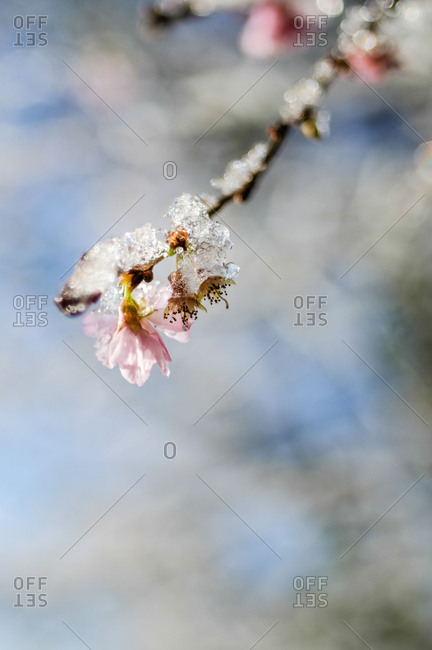 Close-up, branch with snow-covered and iced pink plum blossoms
