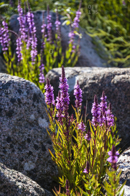 Purple loosestrife (Lythrum salicaria) between granite stones on the east coast south of Arsdale, Europe, Denmark, Bornholm,