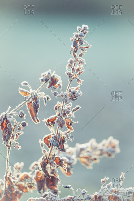 Frozen meadow flowers coated with hoarfrost in front of blurred background