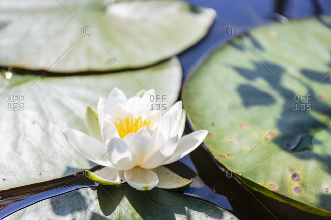 Water lily (Nymphaea) on a small lake in Paradisbakkerne, Europe, Denmark, Bornholm,