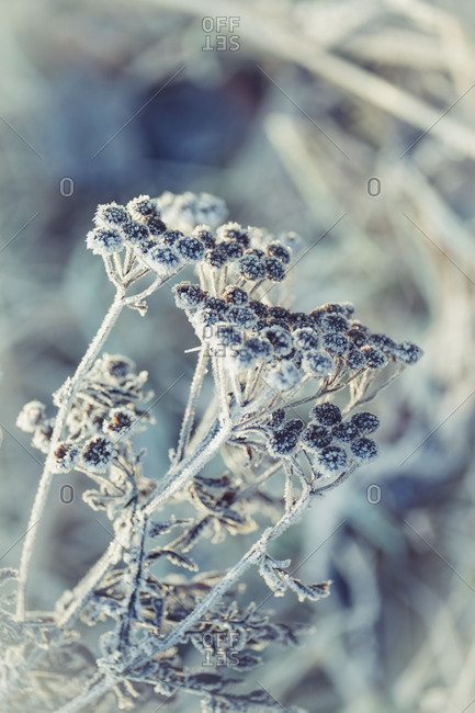 Frosty beauty, inflorescences of common tansy with hoarfrost and ice crystals