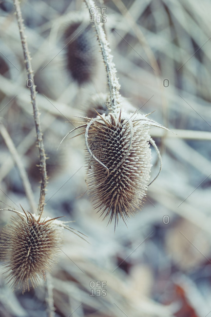 Winter mood: Dried inflorescences of the wild teasel / thistles with hoarfrost