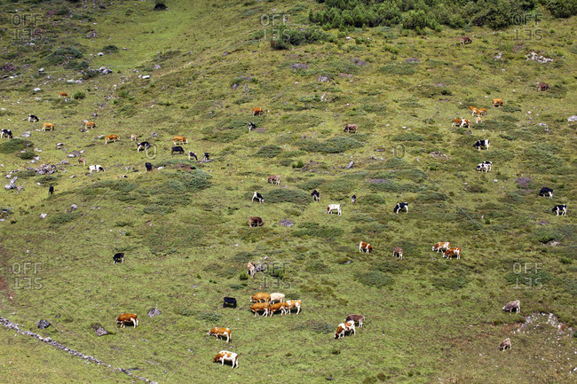 Herd of cattle on alpine pasture