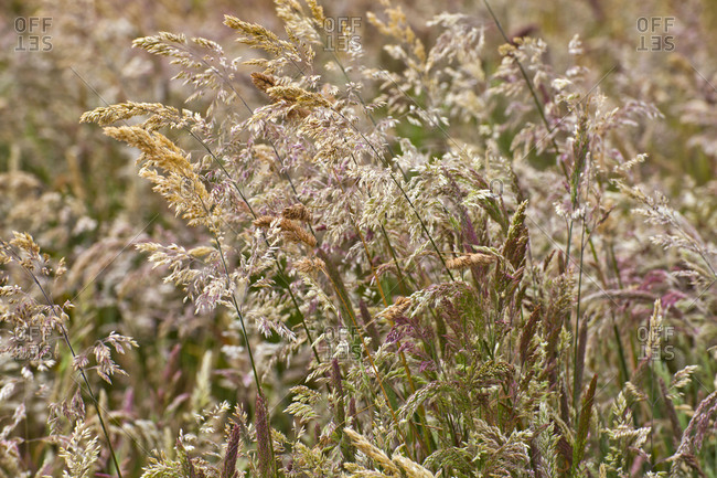 Flowering grasses thickly dense