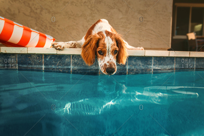 Dog lying at edge of swimming pool with nose near the water