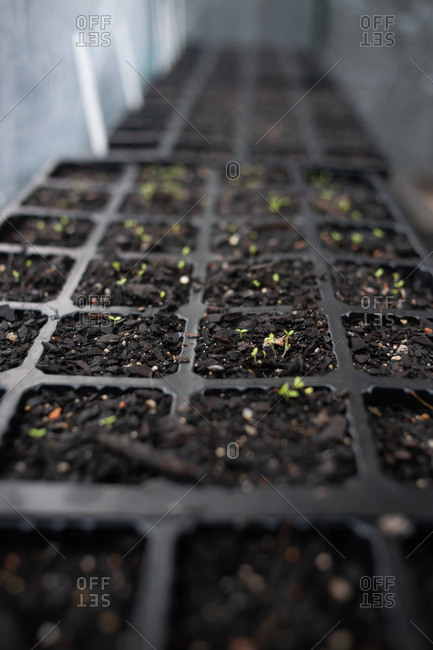 Close up opf rows of seedlings in plastic containers