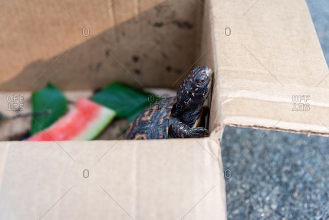 Close up of pet eastern box turtle trying to climb out of cardboard box
