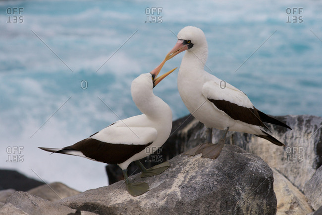 Two birds pecking at each other on beach rocks at Galapagos Islands