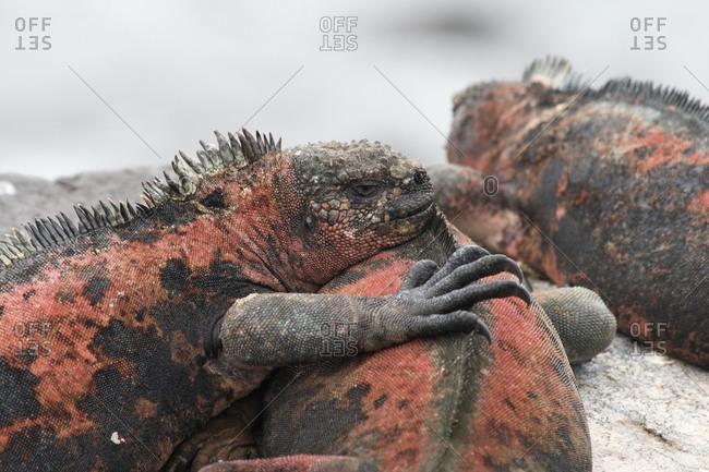Wild komodo dragons sleeping in Galapagos Islands
