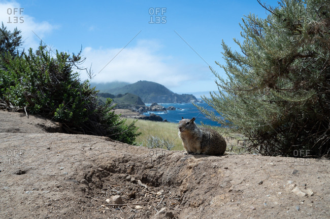 Lone prairie dog sitting still near beach