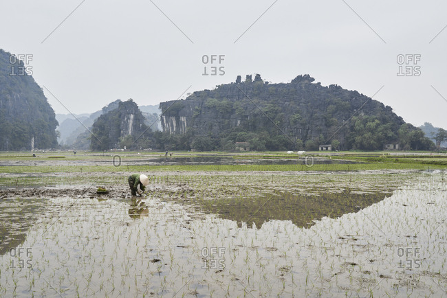 Unrecognizable farmer with hat at work in breathtaking wet rice fields surrounding Tam Coc, Ninh Binh, Vietnam.
