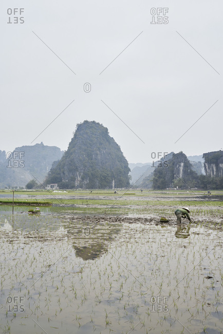 Unrecognizable farmer with hat at work in breathtaking wet rice fields planting seeds in Vietnam