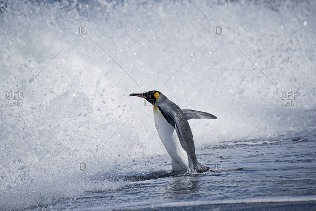 King penguin (Aptenodytes patagonicus) entering waves, St Andrews Bay, South Georgia. January.