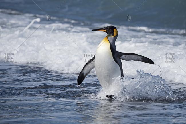 King penguin (Aptenodytes patagonicus) at water's edge. St Andrews Bay, South Georgia. January.